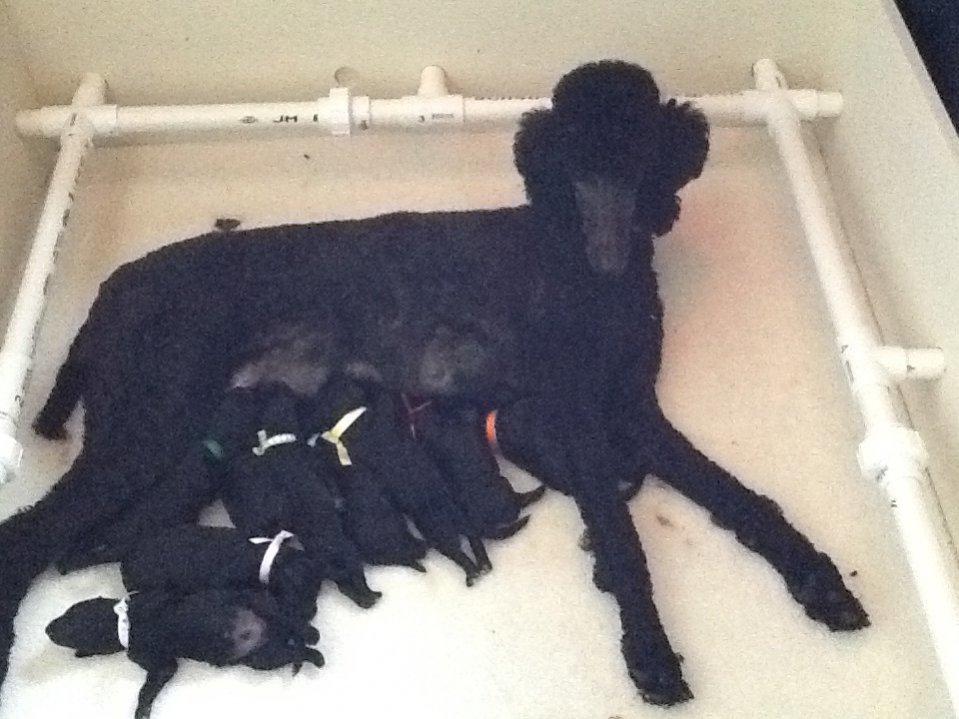 52 weeks of Javelin!-puppies-day-3.jpg