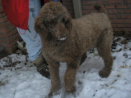 Standard Brown Rescue - Poodle Forum - Standard Poodle, Toy