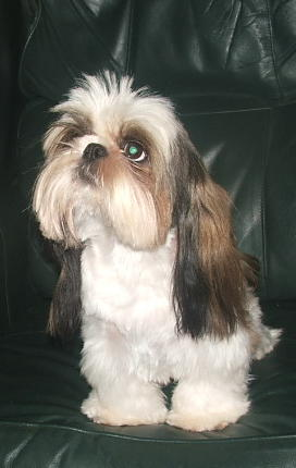 Fun Shih Tzu Haircuts Poodle Forum Standard Poodle