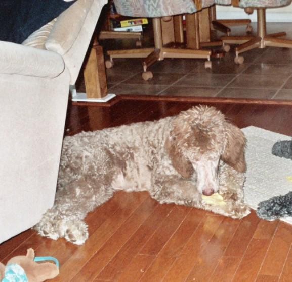 Silver Beige? - Poodle Forum - Standard Poodle, Toy Poodle ...