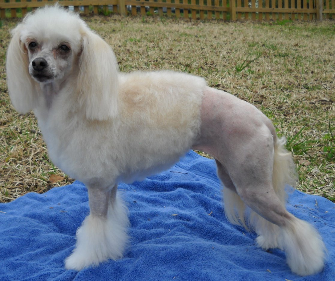 Summer Haircuts Poodle Forum Standard Poodle Toy Poodle