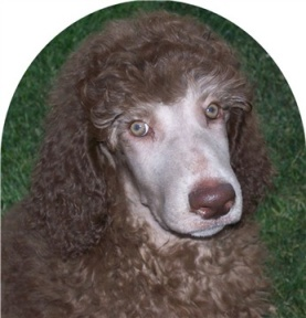 White hairs - Poodle Forum - Standard Poodle, Toy Poodle ...