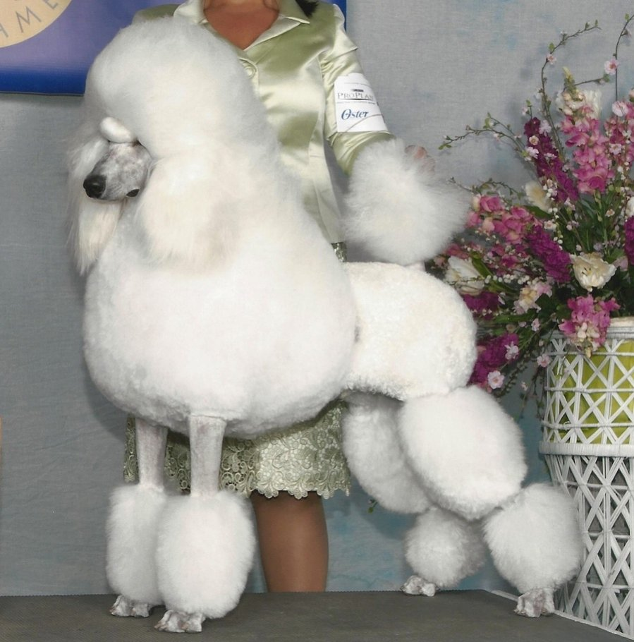 English Saddle or Continental for Show Ring | Poodle Forum