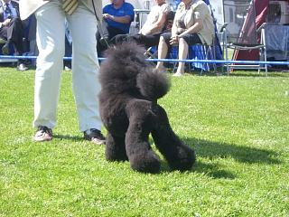 Poodle Cuts / Pictures of different poodle cuts-scandinavian-clip1.jpg