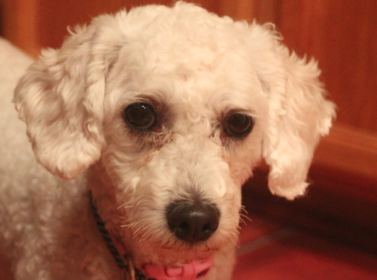 Is she a poodle or bichon?-screen-shot-2012-11-04-11.23.03-am.png