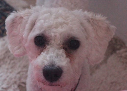 Is she a poodle or bichon?-screen-shot-2012-11-04-11.23.21-am.jpg