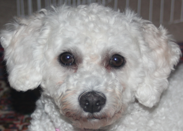 Is she a poodle or bichon?-screen-shot-2012-11-04-11.25.39-am.png