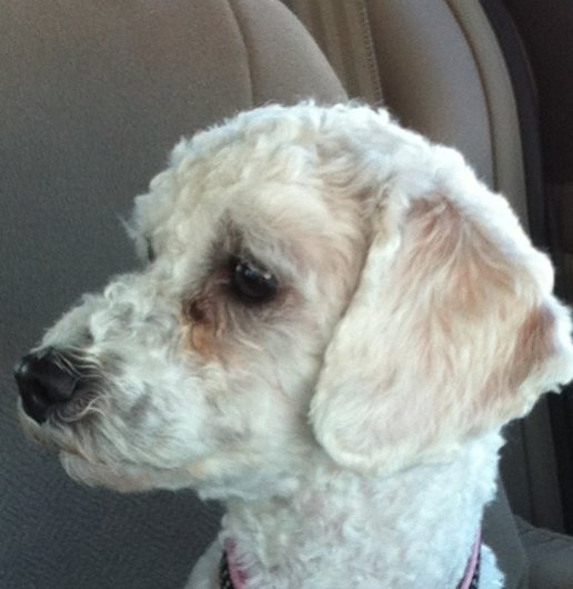 Is she a poodle or bichon?-screen-shot-2012-11-04-11.26.19-am.jpg