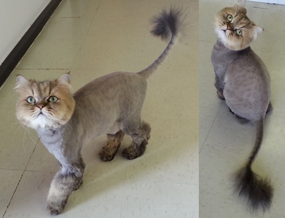 Brilliant Some Type Of Grooming Is Essential For The Persian Cat Obviously, A Show Cat Will Need More Grooming Than A Pet If You Love The Look Of A Show Cat, But Do Not Show, You Can Still Groom To That Perfect Show Look This Is A Series Of