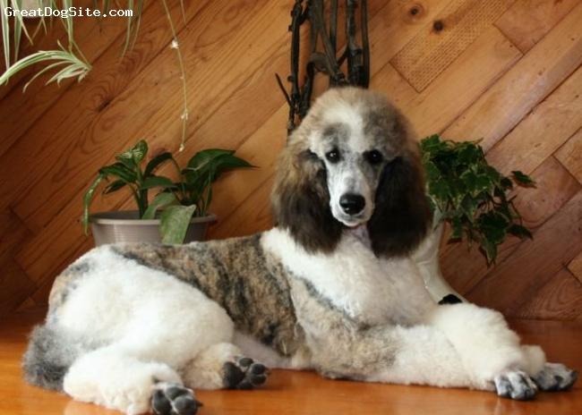 Sable/Brindle... poodles.. :O-standard-poodle-watermarked-1221061627.jpg