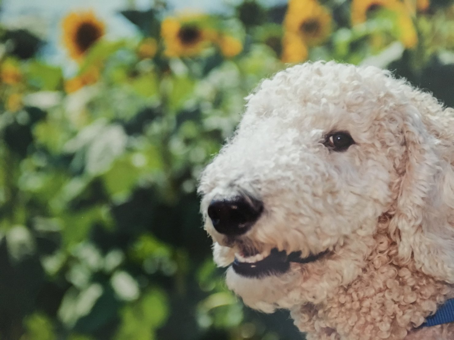New Member From Tn Poodle Forum Standard Poodle Toy