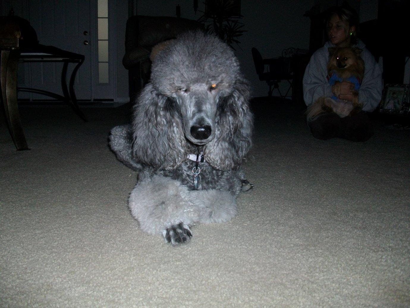 Poodle Love - haven't posted Suri lately-suri-love-019.jpg