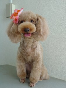 Poodle Cuts / Pictures of different poodle cuts-teddybearcut-01.jpg