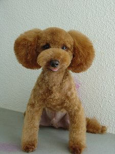 Miniature toy poodle difference