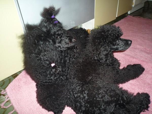 Look who I met at Poodle Rescue-v-z.jpg