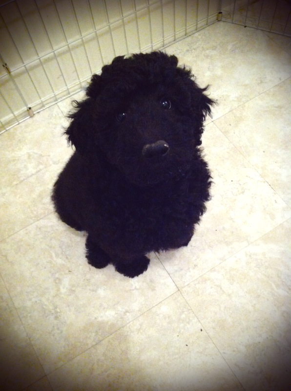 Standard Poodle Wade at 9 weeks-old!-wader.jpg