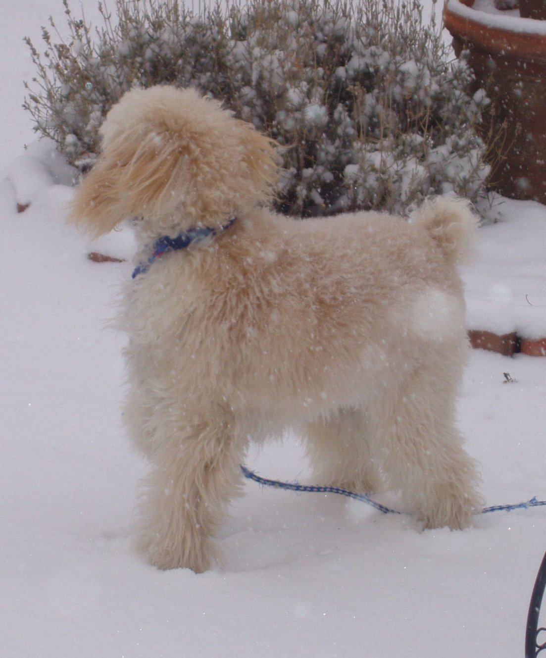 Is my pup toy or miniature?-walters-first-snow-5.jpg