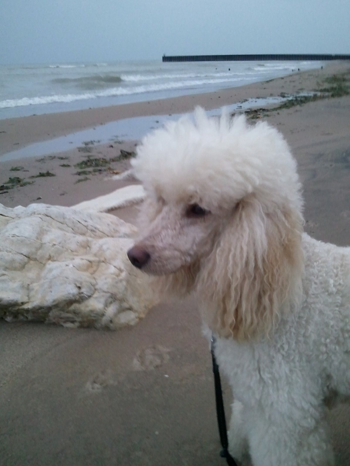 the cream  sable and apricot thread - page 7 - poodle forum