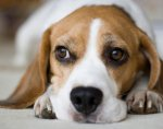 beagle-housing-market-lg.jpg