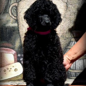 Black female Standard Poodle