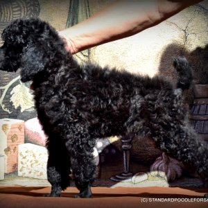 Champion Sired inky black Standard Poodle boy